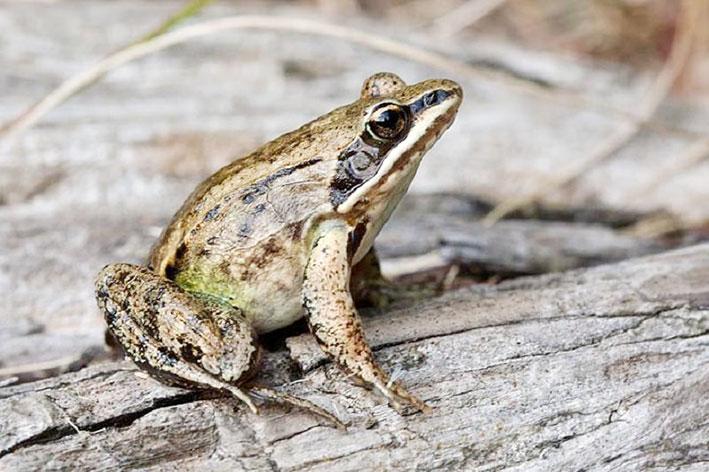 Краснокнижных лягушек незаконно добывали в Алматинской области