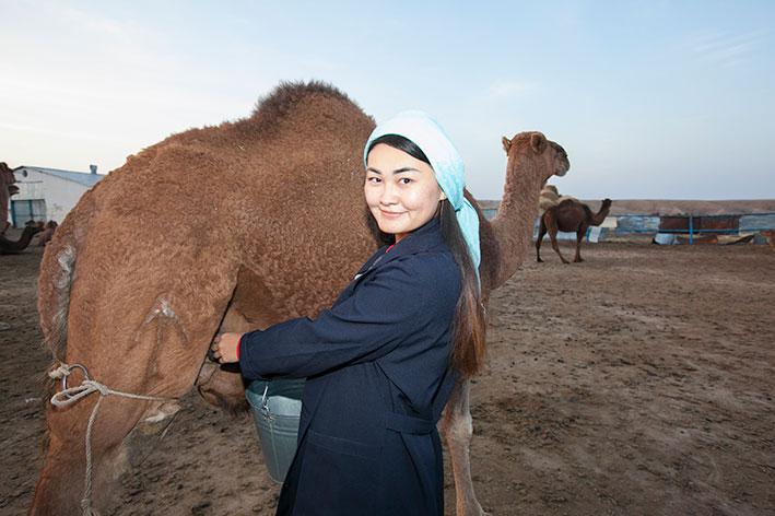 Подоить верблюдицу и...